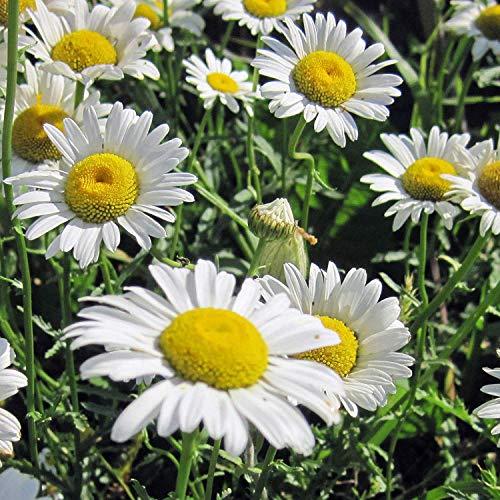 Potseed Germinación Las Semillas: Las Semillas de Ojo de Buey Flor de la Margarita - a Granel