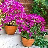 Pianta vera rampicante fiorita BOUGAINVILLEA BOUGANVILLEA FUCSIA RAMPICANTE PIRAMIDALE
