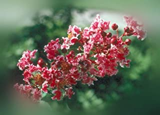 Lumos80 Crape Myrtle Peppermint Lace Lagerstroemia Indica - 1 Plant in 2 Gallon Potted