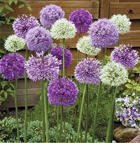 Beautytalk Giardino-Rarità Duftium Allium Fiore, gigante ornamentale Lily Star Ball Leek Allium giganteum Fiore perenne perenne perenne semi di fiori