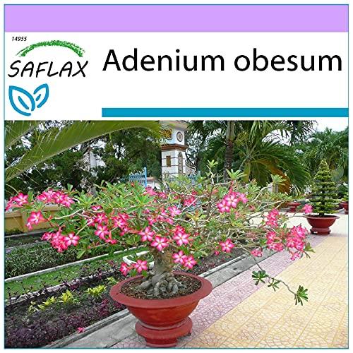 SAFLAX - Rosa del deserto - 8 semi - Adenium obesum