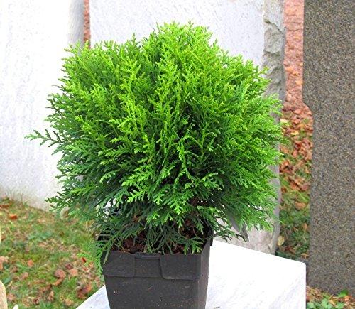 Thuja occ. \'Danica\' - kugeliger Zwerg-Lebensbaum -Zwergkonifere langsam wachsend im 17 cm Topf