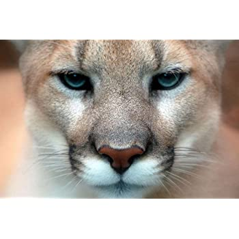 Home Decor Wall Art Poster C Cougar Art Print // Canvas Print