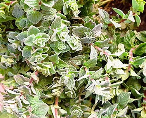 Syrischer Oregano - Zaatar - Origanum syriacum - 20 Samen