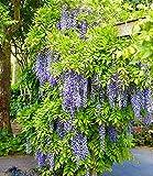 Blauregen'Blue Moon',1 Pflanze
