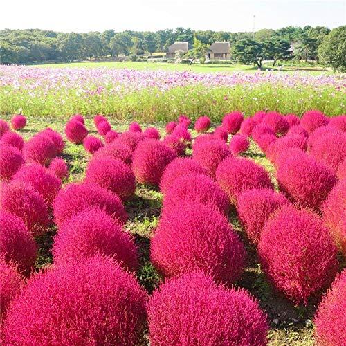 XINDUO Samen für Balkon/Garten,Landschaft Gartenpflanze Kochia scoparia Samen-0,5kg_red,Pflanzen für Balkon und Terrasse