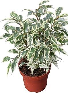 Planta de interior - Planta para la casa o la oficina - Ficu