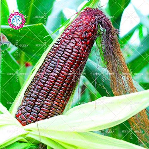11.11 grande promotion! 20 pcs/lot de graines de maïs noir de graines de légumes verts en pot dans le jardin et la maison aweet graines de plantes fraîches herbe annuelle 1
