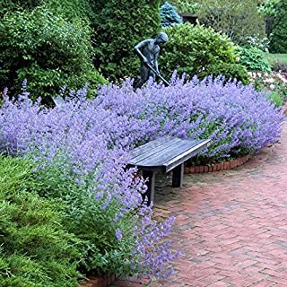 1 Nepeta Walkers Low Catmint Live Perennial Plant
