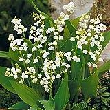 Bulbo de lirio de los valles,Flores Jardín Agradable Especial Hermoso Hogar Decoración Plantas Hogar Jardín Resistente-10Bulbo