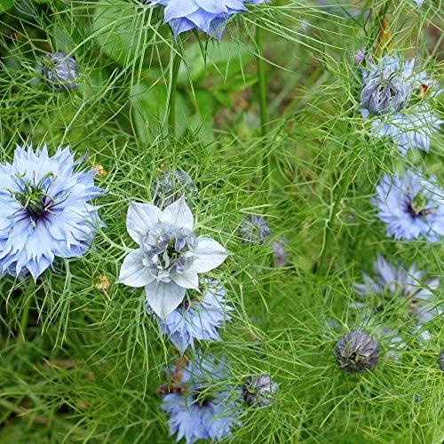 ca. 1000 Samen Echter Schwarzkümmel - Nigella sativa, orientalische Heil- und Gewürzpflanze