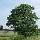 Semillas Europea árbol de aliso (Alnus glutinosa) + 50 Semillas