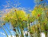 100 semillas Cyperus papiro de papel Reed juncia de la...