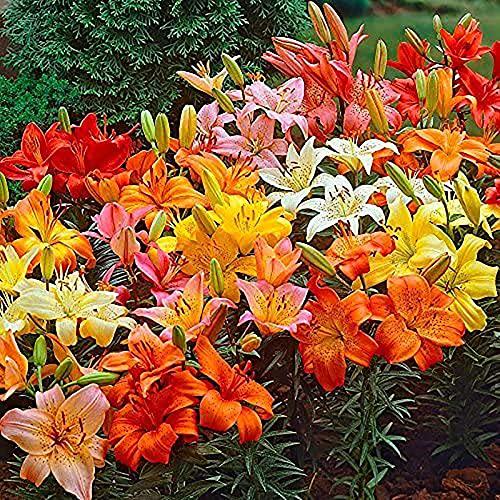 100 Stks/zak Lelie Bloembollen Gemakkelijk te cultiveren Desktop Planten Decor Kleurrijke Bloei Woonkamer Potted Garden Zaailingen voor Park Zaden voor Vrouwen, Mannen, Kinderen, Beginners, Tuinders Gift