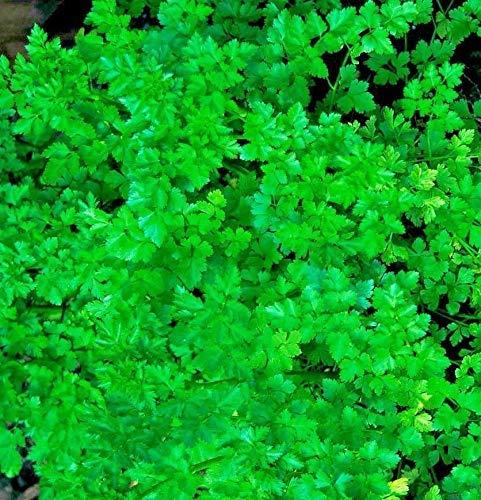 Portal Cool 450 Micro Verts français Légumineuses Persil Graines ordinaire feuilles - nutrition santé