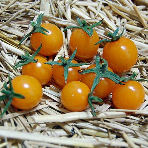 【SEED】Heirloom TomatoR Sungold Select エアルーム・トマト・サン・ゴールド・セレクト (15 seeds) OR *2015新品種