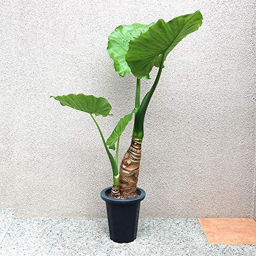 クワズイモ 観葉植物 中型 7号プラスチック鉢Lサイズ【品種で選べる観葉植物・リビングやオフィス向きサイズ/1個売り】学名:Alocasia odora サトイモ科アロカシア属 原産地:中国・台湾・東南アジア・インド・日本●大きな葉と根茎が魅力的な観葉植物です。最大で60cm程度の大きな葉を展開させます。耐寒性も弱くはなく、温暖な地域であれば屋外越冬ができるため観葉植物の中でも育てやすい品種です。【造花ではありません。生きている観葉植物です。※出荷タイミングにより、鉢の形や鉢色が変わる場合があります。商品の特性上、背丈・形・大きさ等、植物には個体差がありますが、同規格のものを送らせて頂いております。また、植物ですので多少の枯れ込みやキズ等がある場合もございます。予めご了承下さい】