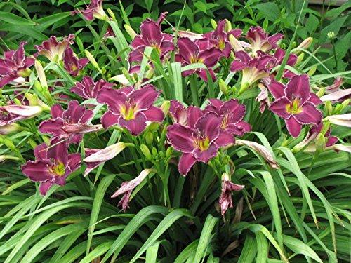 Taglilie Taglilie Samen Hemerocallis Indian Giver Samen Hemerocallis Taglilie Fragrant Blumensamen Bodendecker Pflanzen