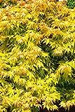 Ahorn palmatum Orange Dream - gelber asiatischer Fächerahorn - verschiedene Größen (50-60cm - 2,5Ltr.)