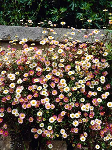 Yukio Samenhaus - 100pcs Selten Spanisches Gänseblümchen durchblühend Bodendecker pflegeleicht Blumensamen winterhart mehrjährig wetterfest, zweifarbige Blüten, ideal für Steingärten