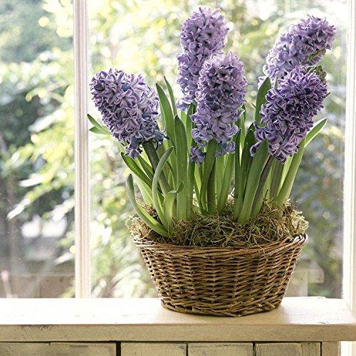 Ncient 20/50/ 100 pcs/Sac Graines de Jacinthes Hyacinthus Orientalis Bonsaï en Plein Air Semences de Fleurs Jardin pour l'Intérieur et l'Extérieur (100pcs)