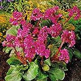 Bergenie 'Purpurea' Wickelwurz (Bergenia cordifolia) - 1 Pflanze