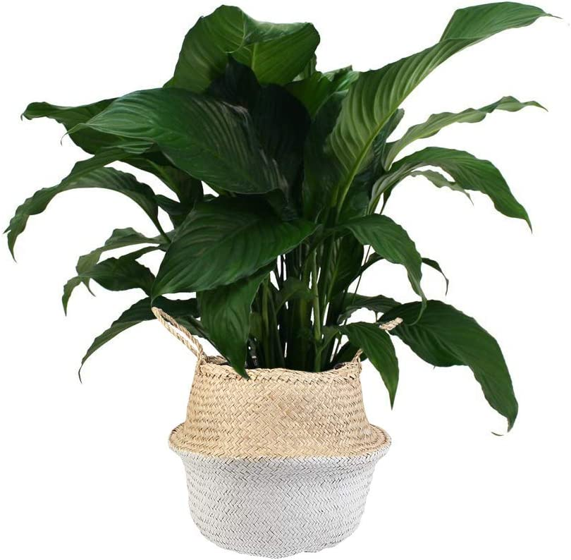 Self-Watering Pot Great Birthday Gift - Houseplant Easy Care Air Purifying Plant Large Removes Toxins Peace Lily Spathiphyllum
