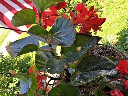 20 semillas Rojo amplias alas del ángel de la hoja de la begonia