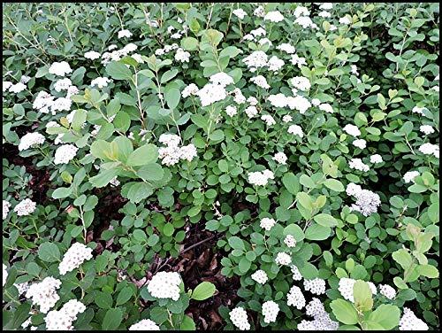 10 Stück Spiraea japonica 'Albiflora'...