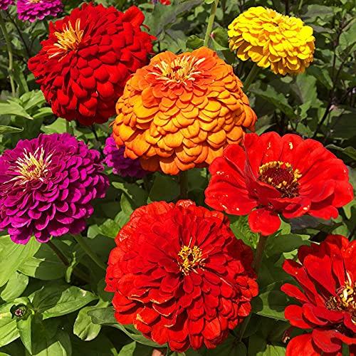 Semillas para Germinar Brotes,San Valentín Planta Cien Semillas de Flores de Hierba-Color Mezclado_2000PCS,Perennes Semillas De Flores