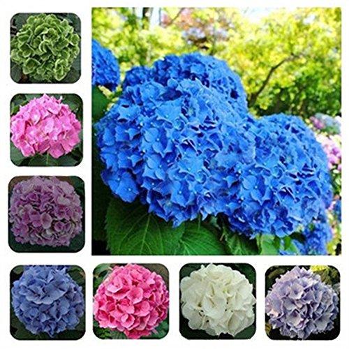 Rare vivace Multicolor 50pcs Fleur Géranium Graine Potted Bonsai Pelargonium Plantes Fleurs Semences pour jardin d'intérieur Chambre