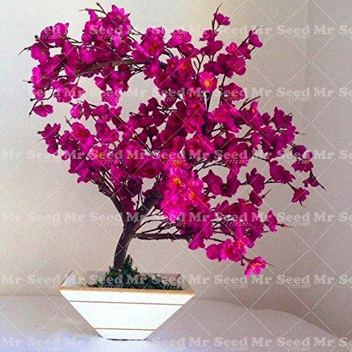 vegherb 10Pcs Rare Sakura Samen Japanische Kirsche blüht Bonsai Blumensamen Sakura Baumsamen-Hausgarten-Topfpflanze 6
