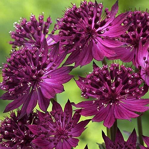 Shopvise Papillons Abeilles Graines de fleurs Facile à cultiver Jardin 50Pcs