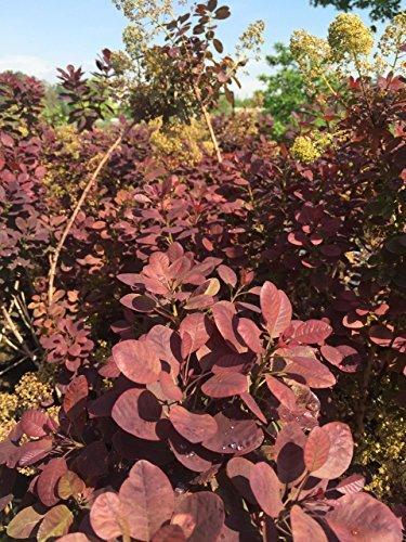 Roter Perückenstrauch Royal Purple 30-40 cm Strauch für Sonne-Halbschatten Heckenpflanze rotes Laub Gartenpflanze winterhart 1 Pflanze im Topf