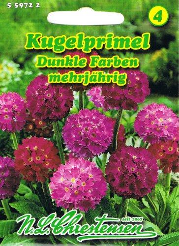 Kugelprimel Dunkle Farben Primula denticulata Primel mehrjährig