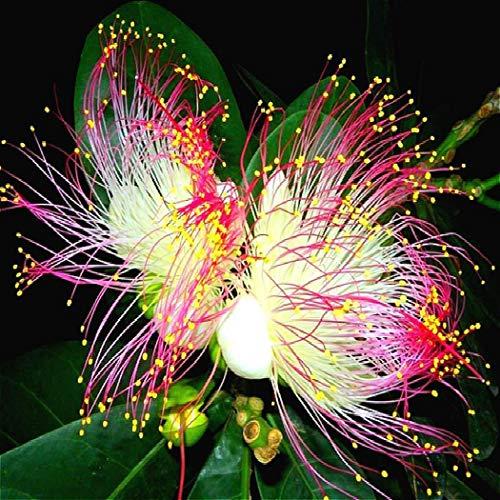 Keland Garten - Selten Tazetten-Narzissen Samen mehrjährig Blumensamen, lange Blütezeit, geeignet für Schnittblumen Garten, Beet & Vase