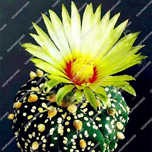 200pcs Mix Cactus Graines Succulentes Graines japonais Rare intérieur Fleur Mini plante pour jardin Bourgogne