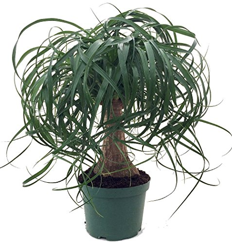 Guatemalan Red Ponytail Palm - Beaucarnea - 6' Pot - Easy to Grow - Live Plant