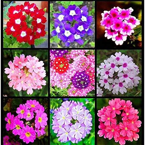 Leftroad Blüten Saatgut mehrjährig,20pcs einfach zu Pflanzen leicht zu Leben Schönheit Kirschsamen für Innenhof Balkon Innendekoration-Lavendel,Steingarten & Staudenbeet