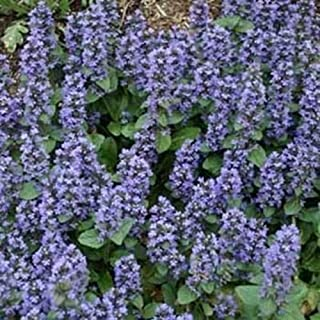 Fresh 200 seeds - Ajuga Reptans Groundcover Seed