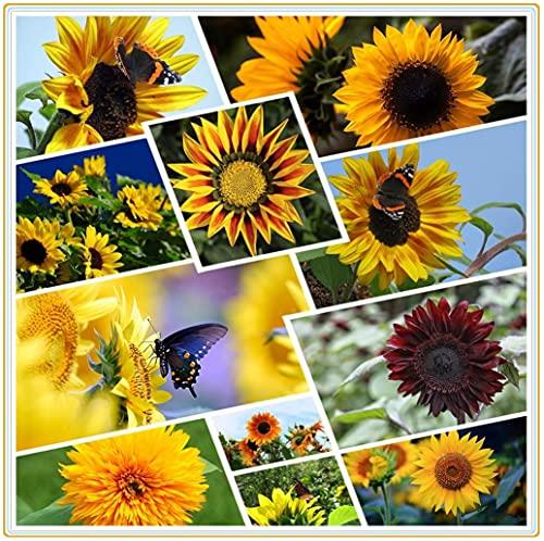Graines de fleurs de couleurs mélangées graines de tournesol, graines de tournesol rares vertes, roses, rouges, plantes ornementales de bonsaï-50 PCA