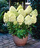 Risitar Graines - 20pcs Hortensia paniculé Vanille Fraise rose/blanc/lilas/Bleu, grandes fleurs doubles, Grainé fleur Plantes vivaces résistante au froid en pot, en terrasse