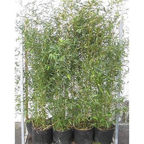 Phyllostachys bissetii C2 Topf 2L cm Ø 80-100 cm- Bisset Bambus - Grüner Bambus