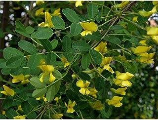 30 Seeds Siberian Pea Tree Caragana Arborescens Seeds TS2