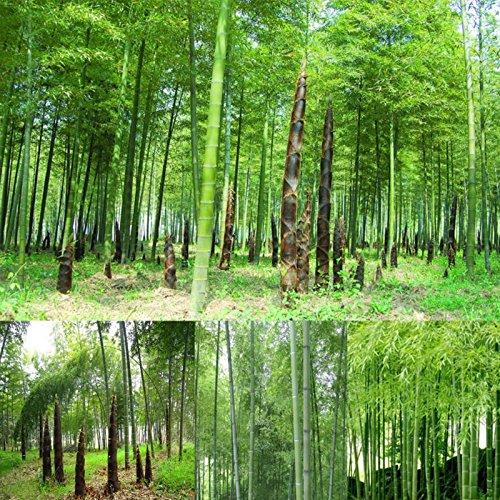 Auntwhale 100pcs bambou graine de bambou