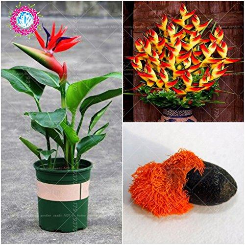 1PCS Véritable intérieur Plante en pot de fleur rouge Strelitzia Reginae Graines Bird Of Paradise Seeds Jardim Bonsai Sementes pour le jardin à la maison