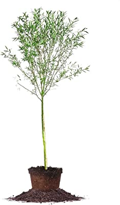 Weeping Willow - Size: 4-5 ft, Live Plant, Includes Special Blend Plant Food & Planting Guide