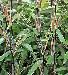 fargesia nitida bamboo
