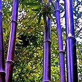 50pcs / plantas bolsa azul de bambú, semillas de bambú, semillas de bambú MOSO, Phyllostachys planta madre naturaleza, bricolaje para el hogar y el jardín Borgoña