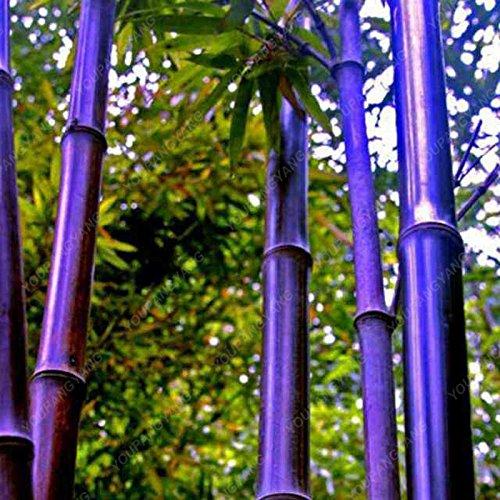 50 pcs \ sac pot hybride, graines rares de bambou, l'air pur, maison décoration rose, couleurs rouge, jaune, vert, les plantes en pot bonsaï blanc
